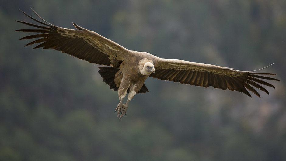 vautours pyrénées